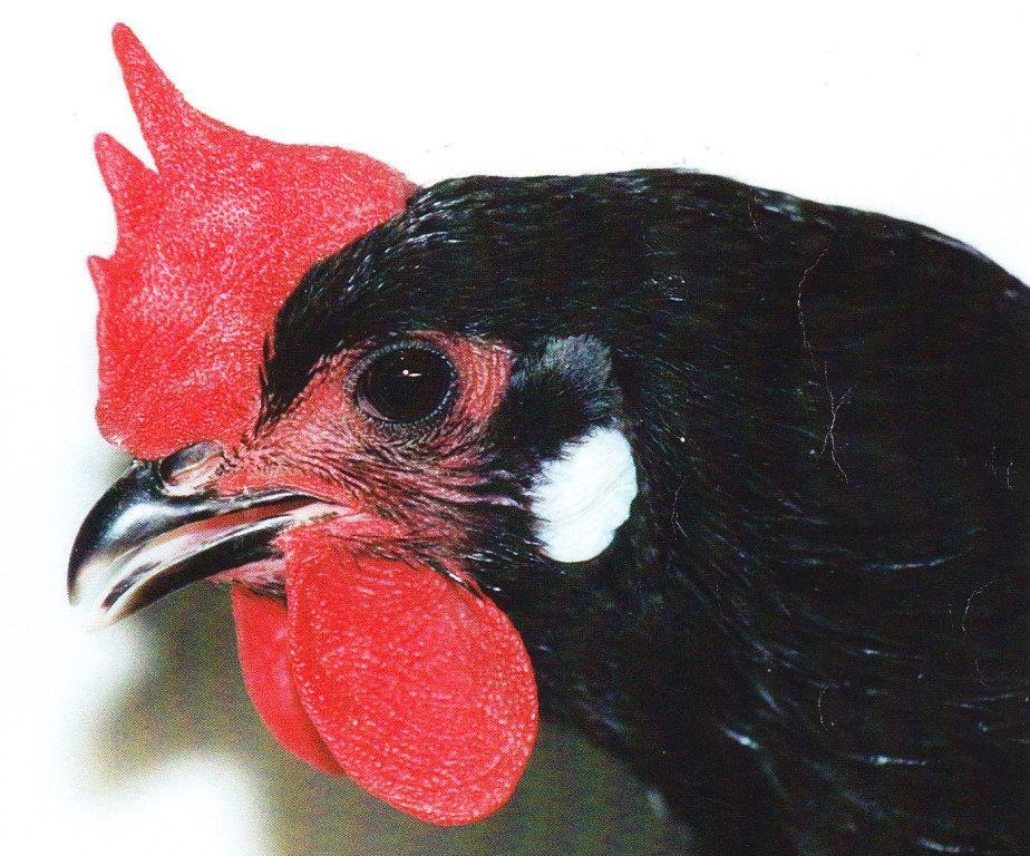 tête de poule noire