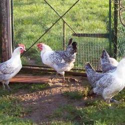 lot de poules grises