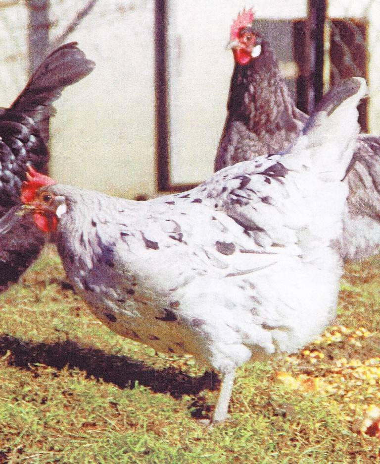 poule blanc sale