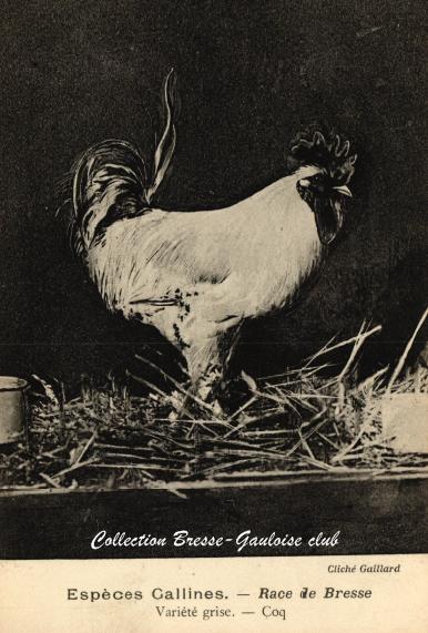 Coq bresse grise 1