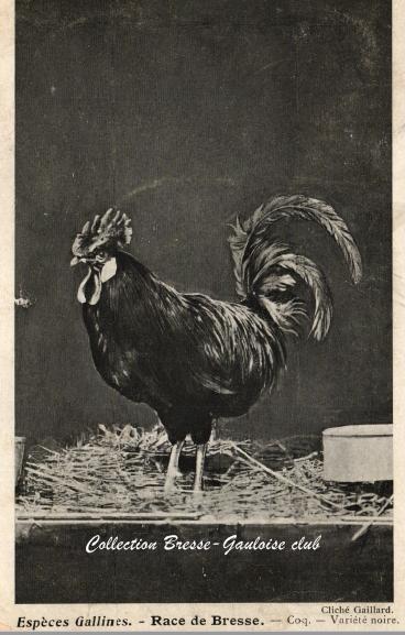 Coq bresse noir