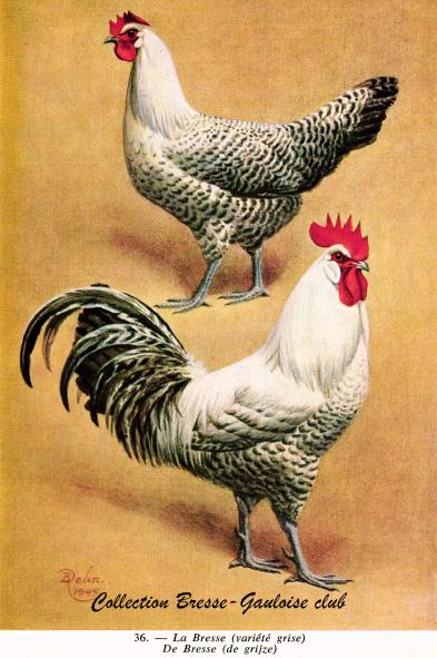 Poule et coq gris